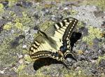 Aout 2008 : Machaon (Truc de Fortunio)